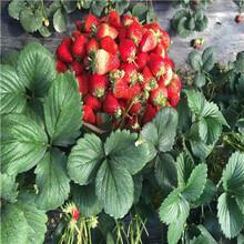 山東草莓苗基地石莓七號草莓苗價格及報價圖片