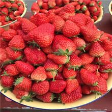 秋季草莓小苗供應日本品種草莓苗苗場電話圖片