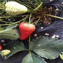草莓苗批發基地達娜草莓苗價格及報價圖片