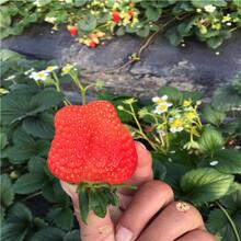 山東草莓苗基地幸香草莓苗基地報價圖片