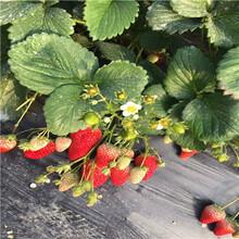 新品種草莓苗批發久香草莓苗基地報價圖片