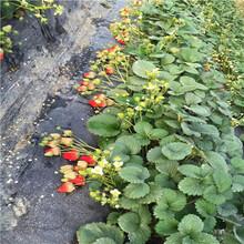 山東草莓苗基地日本品種草莓苗現貨供應圖片