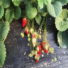 草莓苗批發基地明寶草莓苗出售電話圖片