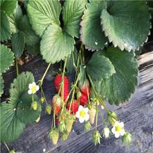 山東草莓苗基地法蘭地草莓苗價格及報價圖片