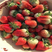 新品種草莓苗高產品種草莓苗多錢一棵圖片