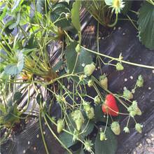 草莓種苗批發基地容美草莓苗基地報價圖片