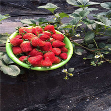 草莓種苗批發基地草莓小苗多錢一棵圖片