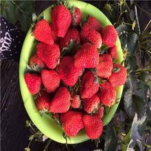 草莓苗批發基地成熟季節咖啡草莓苗價格及報價圖片