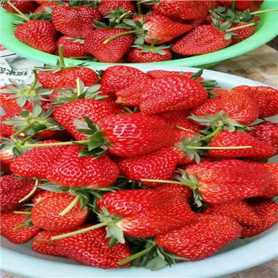 新品種草莓苗太空2008草莓苗批發價格