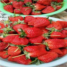 新品種草莓苗批發甜王草莓苗批發基地圖片