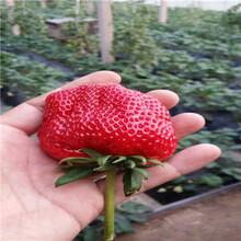 紫金草莓苗紫金草莓苗批發多錢圖片