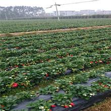 新品種草莓苗批發甜查理草莓苗現貨供應圖片