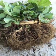 新品種草莓苗新品種草莓苗現貨供應圖片