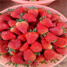秋季草莓小苗供應紅實美草莓苗批發基地圖片