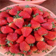 山東草莓苗基地批發價格新品種草莓苗出售電話