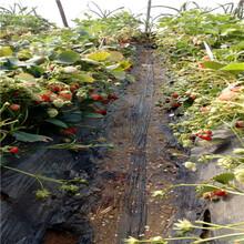 草莓苗批發基地日本品種草莓苗批發價格圖片