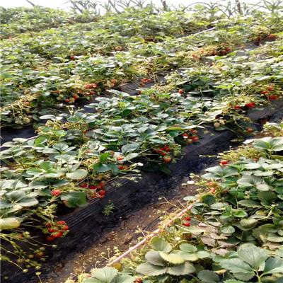 山東草莓苗基地法蘭地草莓苗價格及報價