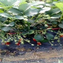 2020年山東草莓苗巧克力草莓苗種植技術圖片
