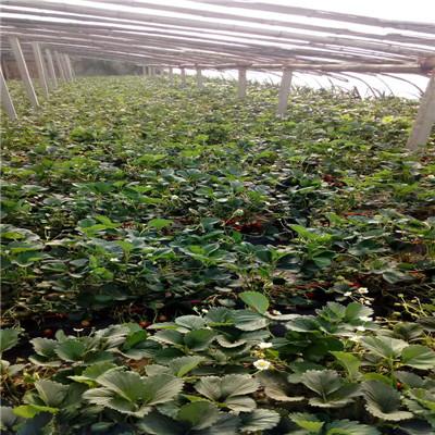 草莓種苗批發基地成熟季節 日本品種草莓苗批發基地