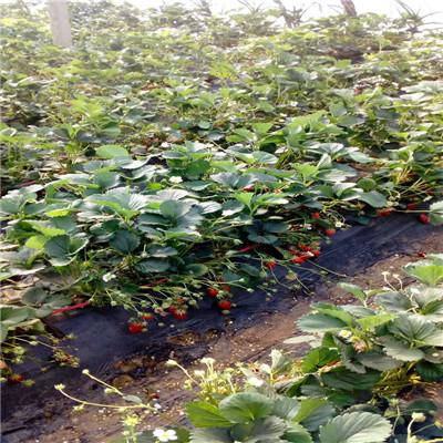 秋季草莓小苗供應紅顏草莓苗種植技術