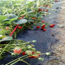 新品種草莓苗雪蜜草莓苗批發價格圖片
