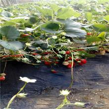 秋季草莓小苗供應草莓小苗苗場電話圖片