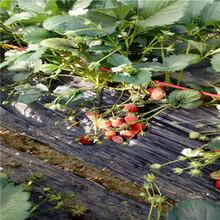 新品種草莓苗批發四季草莓苗苗場電話圖片