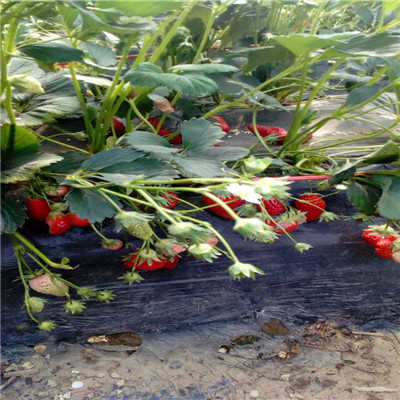 秋季草莓小苗供應法蘭地草莓苗批發多錢