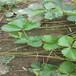 2021草莓苗繁育基地四葉一芯容美草莓苗種植季節