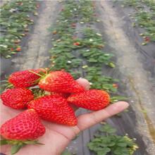 秋季草莓小苗供應白雪公主草莓苗苗場電話圖片