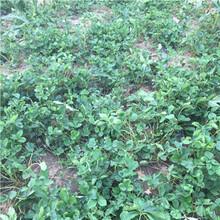 美國十三號草莓苗美國十三號草莓苗現貨供應圖片
