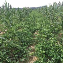 草莓苗批發基地容美草莓苗基地報價圖片