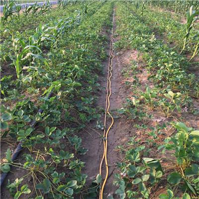 草莓苗批發基地幸香草莓苗苗場電話