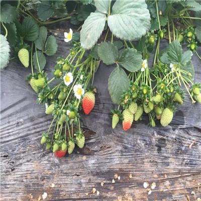新品種草莓苗批發牛奶草莓苗價格及報價