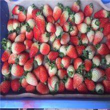 草莓種苗批發基地容美草莓苗種植技術圖片