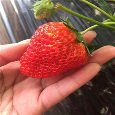 秋季草莓小苗供應全明星草莓苗出售電話