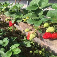 秋季草莓小苗供應紫金草莓苗現貨供應圖片