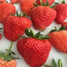 新品種草莓苗日本品種草莓苗種植技術圖片