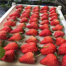 草莓種苗草莓種苗基地報價圖片