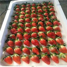 2020年山東草莓苗成熟季節甜王草莓苗批發基地圖片