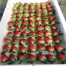 新品種草莓苗四季草莓苗批發多錢圖片