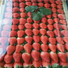 草莓種苗批發基地雪蜜草莓苗出售電話圖片