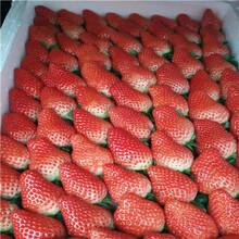 2020年山東草莓苗苗場電話寧豐草莓苗現貨供應圖片