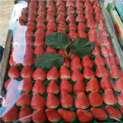 2020年山東草莓苗成熟季節 甜王草莓苗批發基地