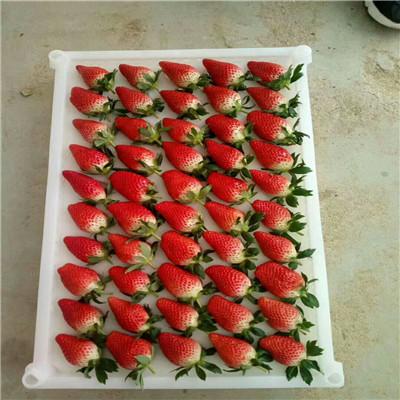 山東草莓苗基地批發價格 新品種草莓苗出售電話