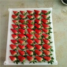 2020年山東草莓苗童子一號草莓苗現貨供應圖片