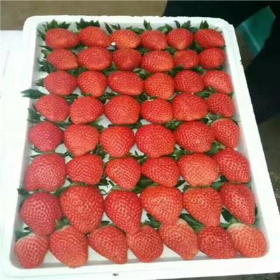 新品種草莓苗苗場電話 晶玉草莓苗批發多錢