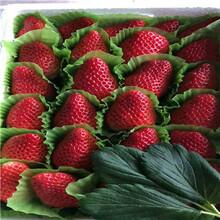 新品種草莓苗批發巧克力草莓苗價格及報價圖片