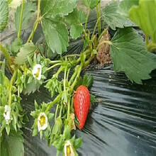 新品種草莓苗批發達娜草莓苗多錢一棵圖片