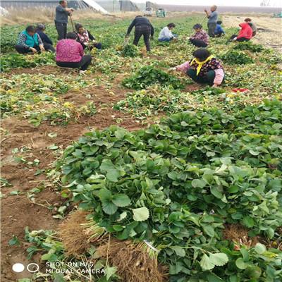 新品種草莓苗雪里香草莓苗基地報價